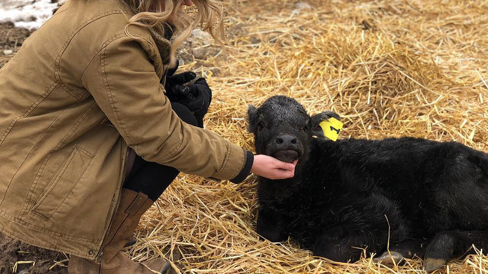 Newborn Angus Calf in Franklin County Idaho